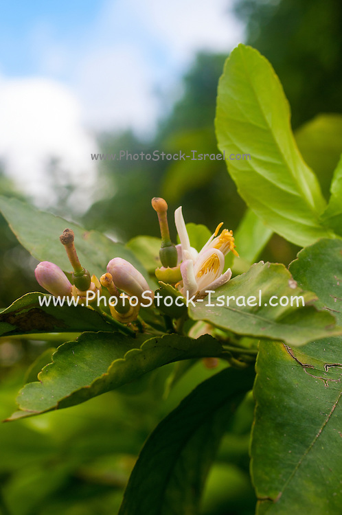 Orange blossom on a tree in a garden