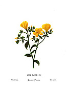 Yellow or golden flax, (Linum flavum) From the book Wild flowers of the Holy Land: Fifty-Four Plates Printed In Colours, Drawn And Painted After Nature. by Mrs. Hannah Zeller, (Gobat); Tristram, H. B. (Henry Baker), and Edward Atkinson, Published in London by James Nisbet & Co 1876 on white background