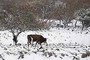 Israel, Golan Heights during a snowstorm