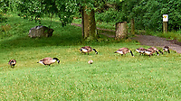 Canada Geese. Sourland Mountain Preserve. Image taken with a Leica D-Lux 5 camera.