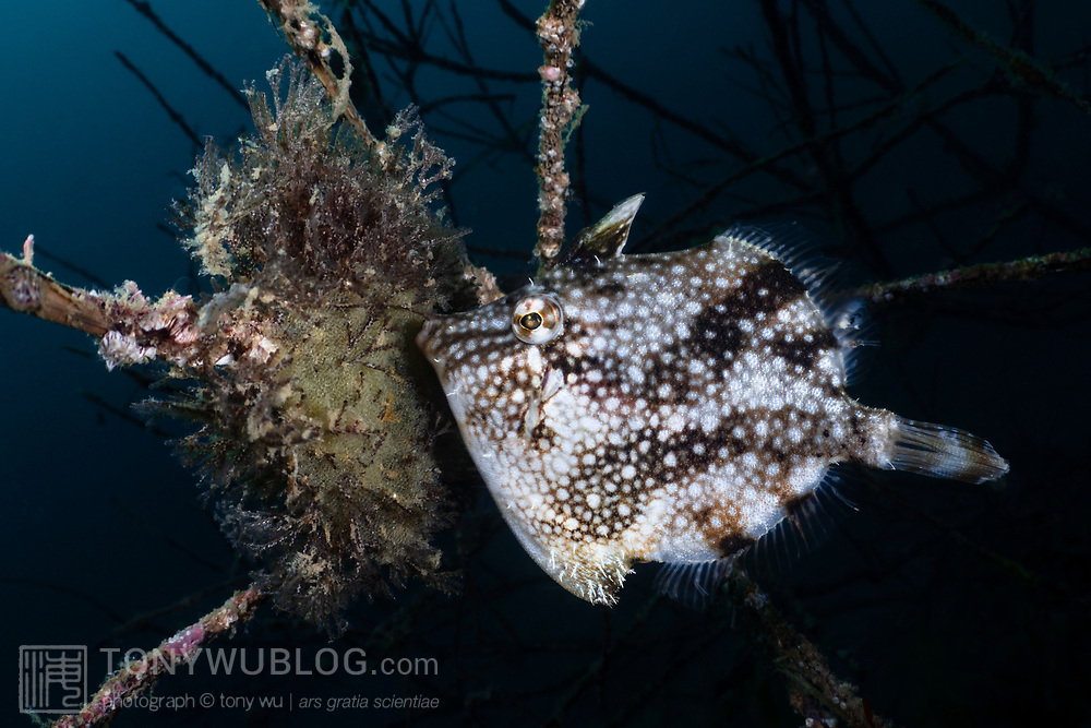 This is a female whitespotted pygmy filefish (Rudarius ercodes) tending to a clutch of eggs that she has deposited on a cluster of bryozoans that have grown on the branches of a dead tree lodged in the substrate. Development of this species is rapid, with the juveniles hatching in approximately three days.