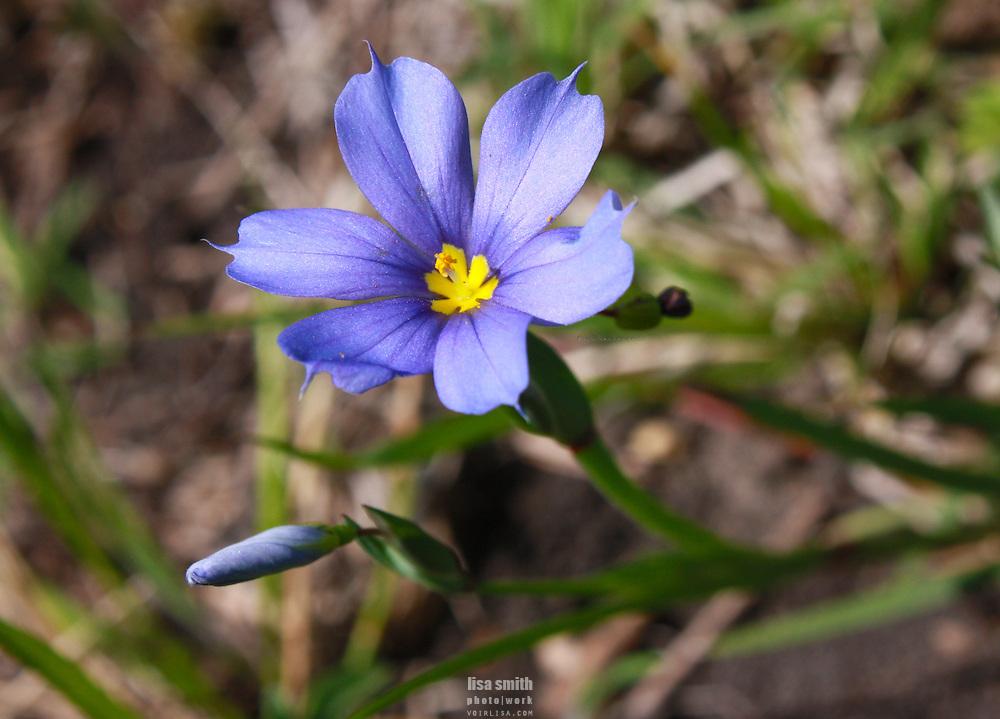 Springtime Bluebonnets blanket the hills in Texas