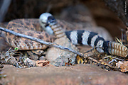 Spring Day in Sonoran Desert  Two males of Diacrita costalis flies display at each other with two western-diamondbacked snakes mating on the background. Snake mating attracts flies that start to display on moving rattlers, gaining higher position and hierarchical advantage. When copulating snakes shake the flies off the rattlers, the fly display continues on the ground.