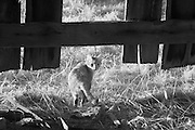Firefly farm barn cat exiting through hole in the side of the barn in rural Kentucky.  Infrared (IR) photograph by fine art photographer Michael Kloth. Black and white infrared photographs