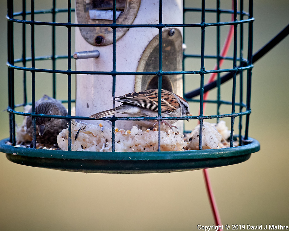 Chipping Sparrow. Image taken with a Nikon D5 camera and 600 mm f/4 VRII lens
