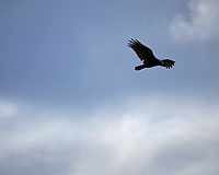 Turkey Vulture in Flight. Image taken with a Fuji X-T3 camera and 200 mm f/2 telephoto lens + 1.4x teleconverter (ISO 320, 280 mm, f/16, 1/500 sec).