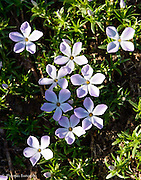 The spreading phlox added some color to the alpine meadows.