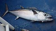 Dog tooth tuna fish