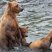 USA, Alaska, Katmai. Mama Grizzly and Cubs in water at Brooks Falls, Katmai National Park.