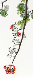 Royal Poinciana Tree Delonix Regia #32vert