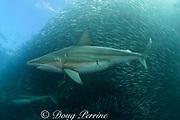copper shark or bronze whaler ( Carcharhinus brachyurus ) - pregnant female with mating scars - patrols a bait ball of sardines or pilchards ( Sardinops sagax ) during the annual Sardine Run off the east coast of South Africa at Mboyti, Transkei or Wild Coast ( Indian Ocean )