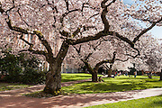 """Cherry trees flower in early April at UW Smith Hall in Seattle, Washington, USA. The Yoshino cherry trees on """"the Quad"""" (Liberal Arts Quadrangle) of the University of Washington were a senior gift from the class of 1959. The trees were rescued from a construction site for the Evergreen Point Floating Bridge and moved to campus in 1964."""