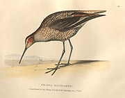 Long-legged Sandpiper (Tringa douglassii) color plate of North American birds from Fauna boreali-americana; or, The zoology of the northern parts of British America, containing descriptions of the objects of natural history collected on the late northern land expeditions under command of Capt. Sir John Franklin by Richardson, John, Sir, 1787-1865 Published 1829