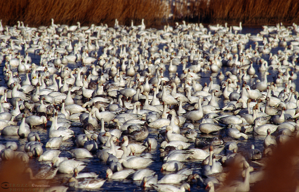 Snow Geese (Chen caerulescens)who's population was in decline at the beginning of the 20th centuryhas now recovered to sustainable levels. To the point where, the saltmarsh wintering grounds are becoming severely degraded, affecting other species using the same habitat.