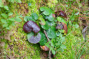 Toadstool grows on a forest floor. Photographed on Elfer Mountain, Stubaital, Tyrol, Austria