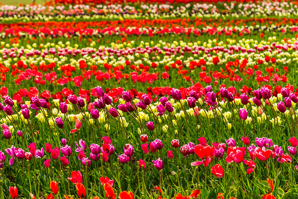 Lake Wenhai is a seasonal alpine lake and wetland in spring and summer. Here, in Spring, beautiful gardens of tulips and other flowers are planted, which is a big tourist attraction. The altitude at the lake is 3100 meters (10,200 feet). Near Lijiang, Yunnan Province, China.
