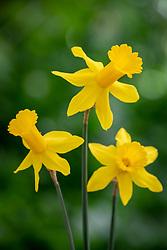 Narcissus 'Rapture' AGM