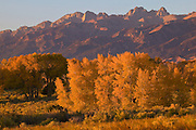 Golden aspens, at the peak of their fall color, stand at the base of the Sangre de Christo mountain range near Zapata, Colorado.