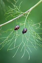 Ladybird larvae on fennel