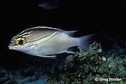 twoline threadfin bream or monocle bream, Scolopsis bilineata, Similan Islands, Thailand ( Indian Ocean - Andaman Sea )