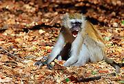 Vervet monkey displaying aggression, Zimbabwe, Africa