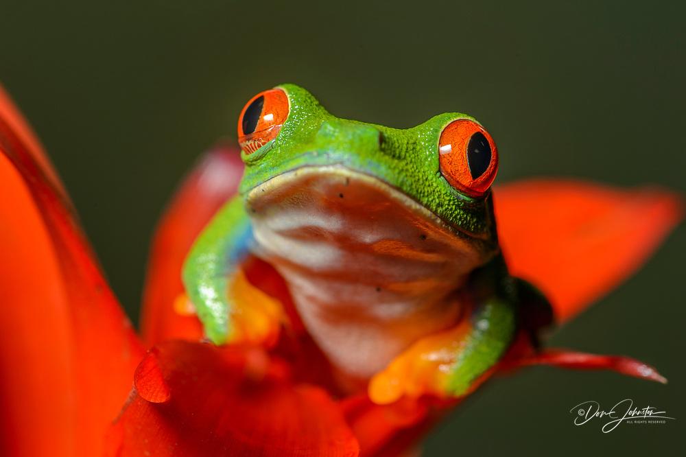 Red-eyed Tree Frog (Agalychnis callidryas), Captive, Reptilia reptil zoo, Vaughan, Ontario, Canada