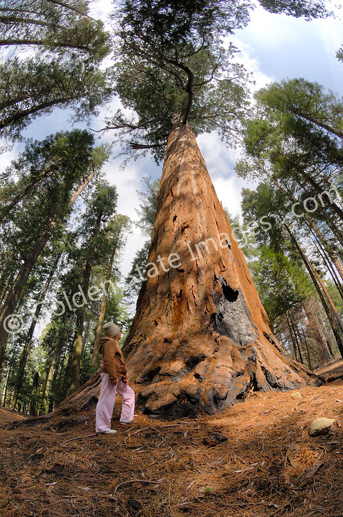 Young girl stands at the base of a Giant Sequoia. <br />   <br /> Species: Sequoiadendron giganteum