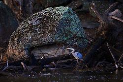 Blue Heron, Madison River, Yellowstone National Park