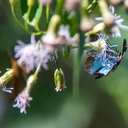 """""""Mariposa (Lepidoptera) fotografado em Burarama, distrito do município de Cachoeiro de Itapemirim, no Espírito Santo -  Sudeste do Brasil. Bioma Mata Atlântica. Registro feito em 2018.<br /> ⠀<br /> ⠀<br /> <br /> <br /> ENGLISH: Moth photographed in Burarama, a district of the Cachoeiro de Itapemirim County, in Espírito Santo - Southeast of Brazil. Atlantic Forest Biome. Picture made in 2018."""""""