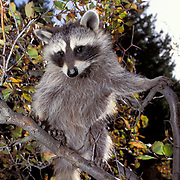 Raccoon, (Procyon lotor) Baby coon sitting in fall colored bush.  Captive Animal.