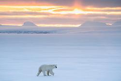 Polar bear (Ursus maritimus) in winter landscape at sunrise in Spitsbergen, Svalbard, Norway