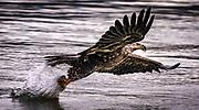 Bald Eagle striking a fish near the Conowingo Dam in Darlington, MD.