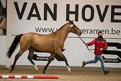 027, Sambuca JW van't Meulenhof<br /> BWP Hengstenkeuring 2021<br /> © Hippo Foto - Dirk Caremans<br />  11/01/2021
