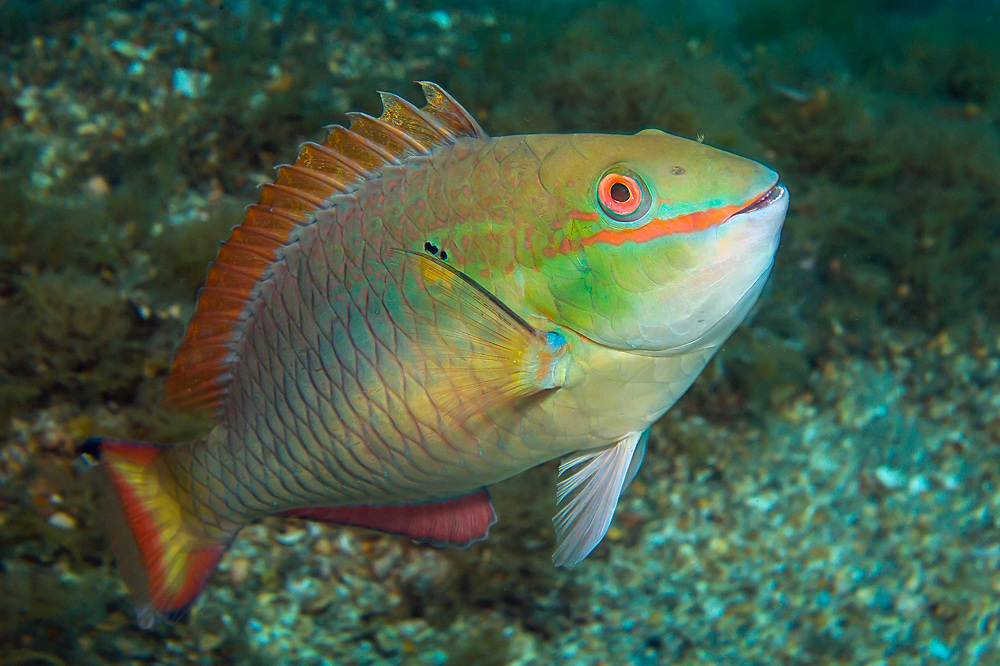 A male Redband Parrotfish, Sparisoma aurofrenatum, in its terminal color phase swims underneath the Blue Heron Bridge in the Lake Worth Lagoon, a polluted marine estuary in northern Palm beach County, Florida, United States.