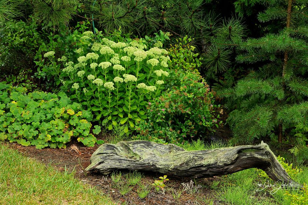 Flowering sedum with log, Greater Sudbury, Ontario, Canada