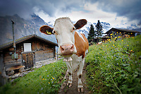A cow is standing outside a log cabin on a hiking trail in the Swiss Alps in Murren, Switzerland