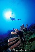 scuba diver and purple tube sponges, <br /> Aplysina archeri, <br /> Hogsty Reef, Bahamas,<br /> ( Western Atlantic Ocean )  MR 162