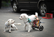 "FUZHOU, CHINA - JUNE 17: (CHINA OUT) <br /> <br /> Wheelchair For Dog<br /> <br /> A disabled poodle named ""Fanqie"" (means ""Tomato"" in Chinese) walks with a wheel chair made by its master on June 17, 2014 in Fuzhou, Fujian province of China. A disabled poodle named ""Fanqie"" was stricken with paralysis 5 years ago, which made him loss the feeling of his hind legs. A lots of people pursuade the masters of ""Fanqie"" to permit euthanasia for their dog due to ""Fanqie's incurable legs, but the masters did not, instead, they made a special wheel chair for the disabled dog. <br /> ©Exclusivepix"
