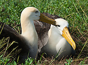 A bonded pair of Waved Albatross (Phoebastria irrorata; or Galapagos Albatross) grooms at Suaraz Point, a wet landing on Española (Hood) Island, the oldest of the Galapagos Islands, which are a province of Ecuador, South America.  The Waved Albatross is the only tropical member of the Albatross family (Diomedeidae). During the non-breeding season, Waved Albatross mostly reside in the coastal areas of Ecuador and Peru. The Waved Albatross breeds primarily on Española Island in the Galápagos archipelago (and maybe some on Genovesa Island and Isla de la Plata). Waved Albatross have blue feet and distinctively yellowish-cream neck and head, which contrasts with their mostly brownish bodies. The very long, bright yellow bill looks disproportionately large in comparison to the relatively small head and long, slender neck. They have chestnut brown upper parts and underparts, except for the breast, with fine barring, a little coarser on the rump. They have brown upper-wings, back, and tail, along with a whitish breast and underwings. Their axillaries (armpit feathers) are brown. Chicks have brown fluffy feathers. Juveniles are similar to adults except for more white on their head. Their lifespan may reach 40 to 45 years. Diomedeidae (the Albatross family) come from the Procellariiformes order (along with Shearwaters, Fulmars, Storm-petrels, and Diving-petrels).
