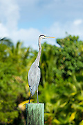 Great Blue Heron, Ardea herodias, one of the large wading herons standing on post  as vantage point, Captiva Island, Florida USA