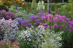 Borders of asters with Aster ericoides 'Silver Queen' (middle) and Aster novae-angliae 'Quinton Menzies' (right)