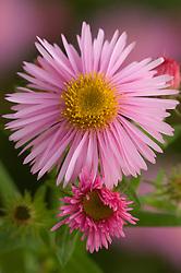 Aster novae-angliae 'Pink Parfait'