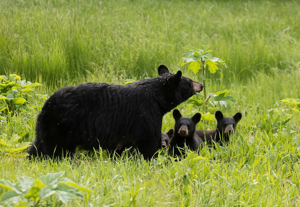 Black Bear (Ursus americanus) family eats their way across a summer meadow, Anchorage.