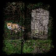 Fox in a graveyard
