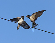 Juvenile Barn swallow, Hirundo rustica, being fed on telegraph wire in Lancashire, UK