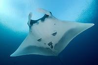 Pelagic Manta<br /> <br /> Shot in Raja Ampat Marine Protected Area West Papua Province, Indonesia
