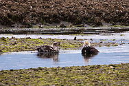 An adult teaches an immature Bald Eagle (Haliaeetus leucocephalus) (Halietus leucocephalus)  how to bathe in Big Beef Creek along Hood Canal in Puget Sound, Washington state, USA