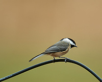 Black-capped Chickadee. Image taken with a Nikon D5 camera and 600 mm f/4 VR telephoto lens.