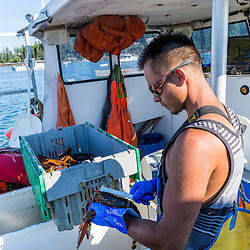 Sternman Michael Estes measures a lobster aboard the 'Pontus' at the Tenants Harbor Fisherman's Coop in Tenants Harbor, Maine.