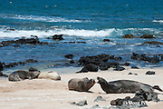 Hawaiian monk seals, Monachus schauinslandi, Critically Endangered endemic species;  a 20+ year old male (R306), rear left, guards a 4 year old female (RB16), rear center, while a 5 year old male (RO36), center. squabbles with a female (R318), front right; west end of Molokai, Hawaii